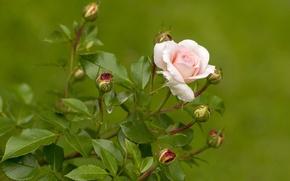 Обои цветы,  роза,  бутоны,  лепестки