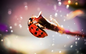 Картинка капли, блики, фото, божья коровка, жук, фокус, ветка, насекомое, madpotat, ladybug