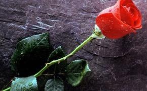 Обои Love, красная роза, капли