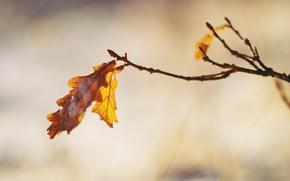 Картинка лист, ветка, дуб