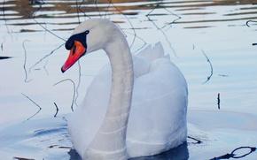 Картинка белый, взгляд, вода, капли, ветки, красный, чёрный, голубой, птица, клюв, лебедь, шея, водоём, оперение, лебедь-шипун