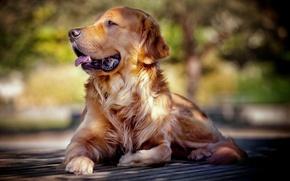 Картинка взгляд, друг, собака, ретривер