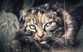 Картинка взгляд, фон, Wildcat