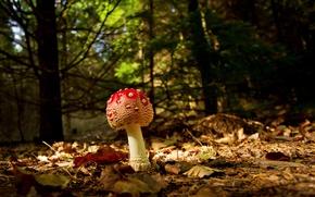 Обои осень, лес, макро, листва, мухомор, грибочек