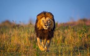 Картинка лев, Африка, прогулка, Кения