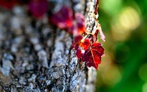 Картинка листья, макро, природа, дерево, фокус, размытость, кора, листики, боке, бордовые