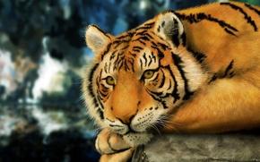 Картинка взгляд, поза, камень, Тигр, шерсть