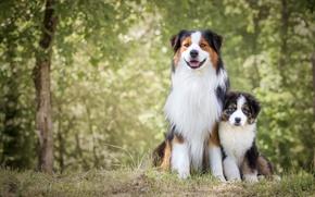 Картинка собаки, природа, щенок
