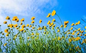 Картинка небо, цветы, стебель, космея