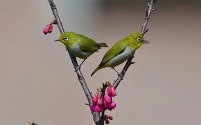 Картинка birds, branches, buds