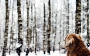 Картинка зима, лес, собака