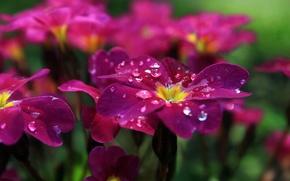 Картинка капли, цветы, роса, лепестки, клумба