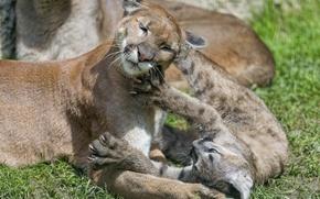Картинка кошка, трава, игра, детёныш, котёнок, пума, горный лев, кугуар, ©Tambako The Jaguar
