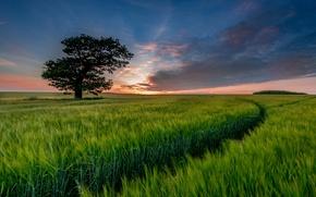 Картинка поле, небо, облака, дерево, вечер