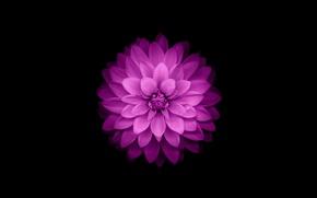 Картинка цветок, фиолетовый, iphone, flower, айфон, ios8, iphone6