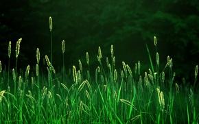 Обои поле, лес, трава, лучи, свет, свежесть, природа, утро, колоски, колосья, landscapes fields