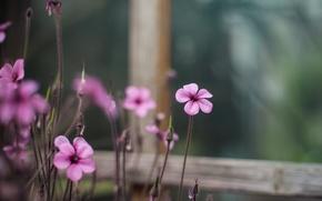 Картинка макро, цветы, размытость, окно, розовые, Кислица