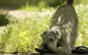 Картинка лето, трава, солнце, животное, собака, укус, тапки, терьер, пшеничный терьер