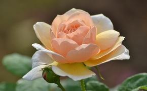 Обои макро, лепестки, персиковый, роза