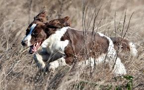 Обои поле, собака, бег