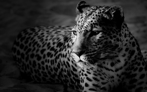 Обои леопард, черно-белые обои, морда