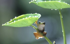 Картинка листья, лягушка, frog