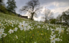 Картинка grass, field, flowers, narcissus, countryside scene