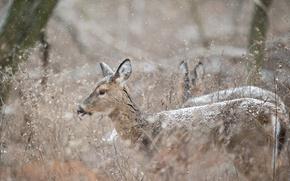 Картинка winter, deer, wildlife, snowing
