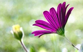 Картинка макро, цветы, розовый, flower