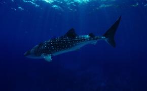 Картинка wallpaper, sea, ocean, big, water, giant, wildlife, reef, whale, sugoi, mammal, coral, sun rays, anima, …