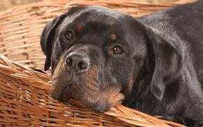 Картинка Собака, пес, ротвейлер
