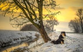 Картинка road, river, sunset, dog, winter, snow, tree, sun, sunlight, australian shepherd, canine