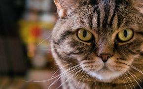 Картинка кошка, портрет, усы, взгляд, морда, кот