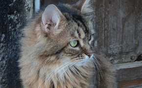 Картинка кошка, глаза, кот, зелёные, 1920x1080, домашний