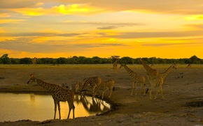 Картинка жираф, Африка, водопой, стадо