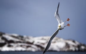 Картинка птица, чайка, полёт