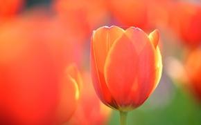 Обои цветок, тюльпан, оранжевый, макро