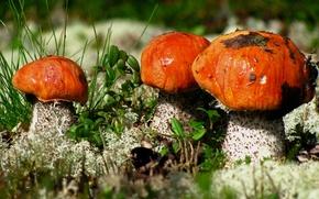 Картинка макро, грибы, подосиновики