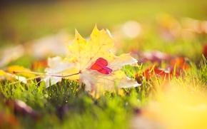Картинка осень, трава, макро, свет, природа, желтые, Листья, сердечко, кленовые, боке