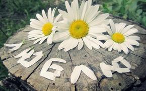 Обои любовь, цветы, чувства, ромашки