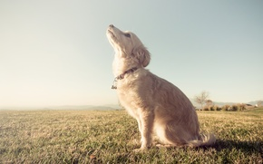 Картинка поле, деревья, собака, ошейник, trees, field, dog, ферма, farm, looking up, глядя вверх, collar