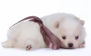 Картинка белый, малыш, щенок, бант, шпиц