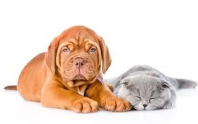 Картинка кошка, Dog, друзья, Cat, Kitten, Бордоский дог, Puppy