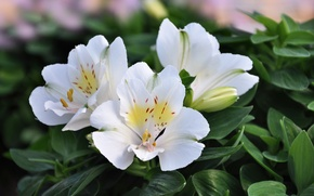 Картинка цветы, бутон, белые, Альстрёмерия