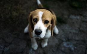 Картинка взгляд, друг, собака, бигль