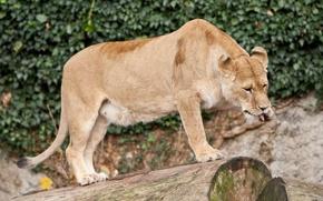 Картинка кошка, бревно, львица