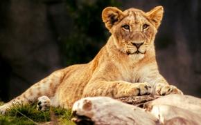 Картинка морда, кошки, природа, камень, портрет, лев, лежит, дикие кошки, львица, львенок, зоопарк, выражение