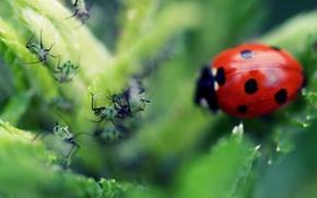 Обои макро, листок, божья коровка, муравей
