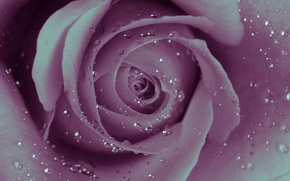 Картинка вода, капли, роса, обои, роза, лепестки