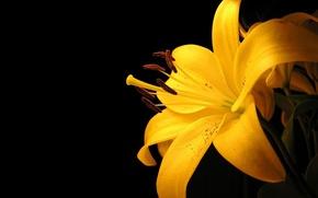 Картинка желтый, лилия, минимализм